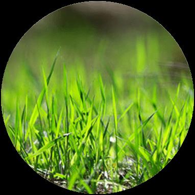 Biomasse Græs