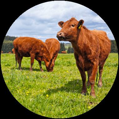 Biomasse Kvæg gylle og halm