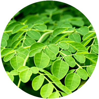 biomasse moringa