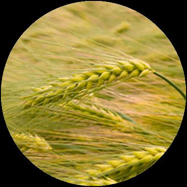 biomasse triticale